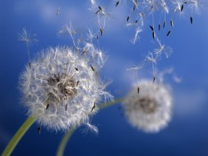 Dandelions-Blowing-in-the-Wind